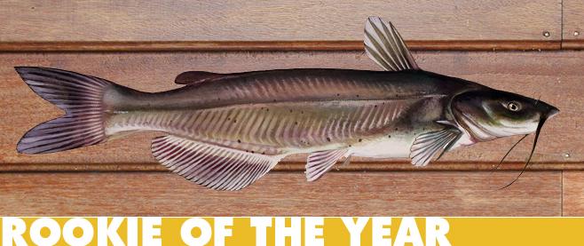 catfish d