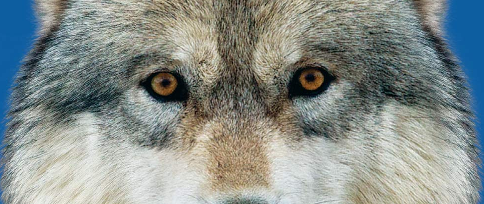 A wolfs eyes looking straight to camera.