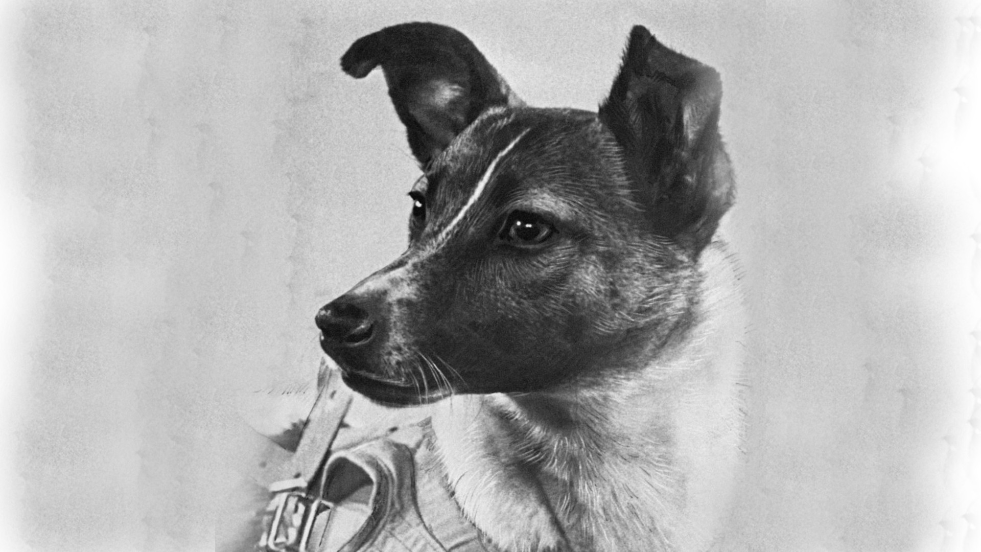 A drawing of Laika, a Soviet space dog and the first animal to successfully orbit the Earth.