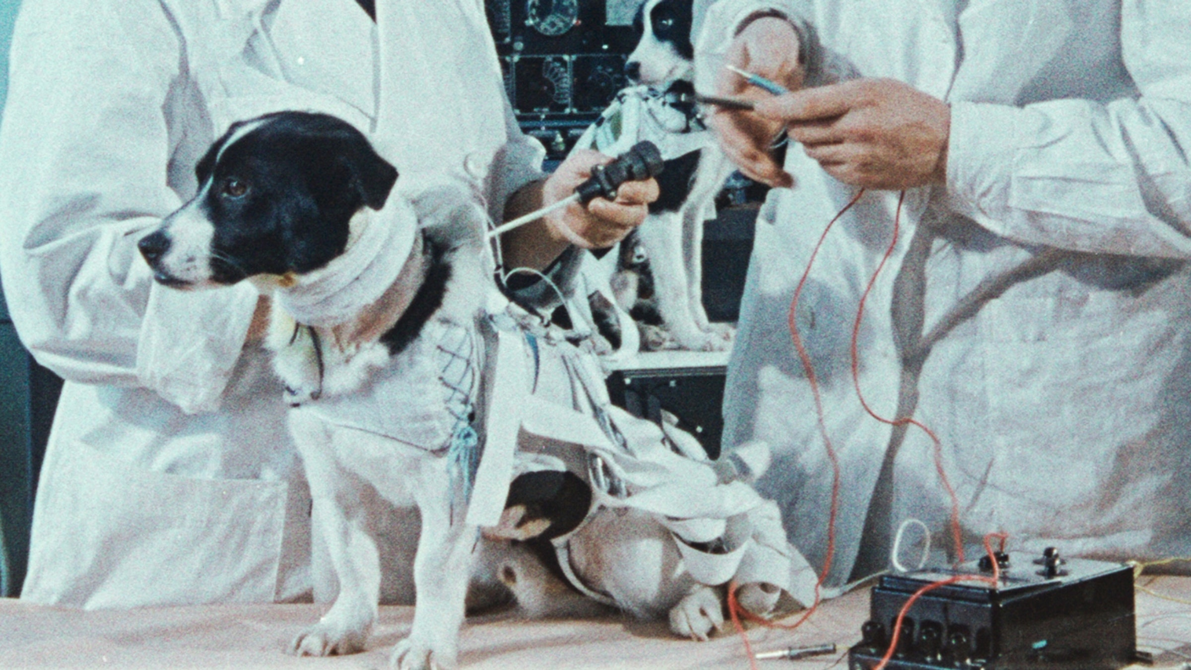 Space dogs in a laboratory setting.